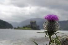 Как чертополох смог спасти Шотландию и стать ее символом