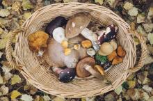 По какой причине народы Севера не употребляют в пищу грибы