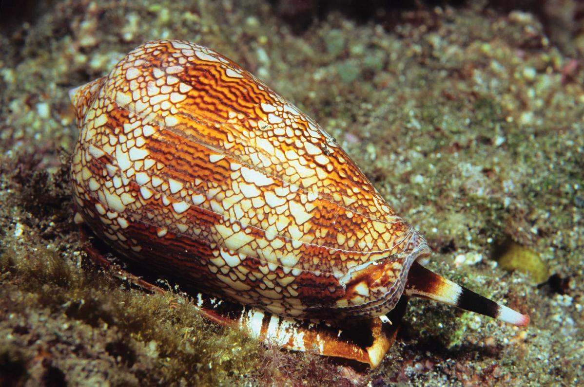 Моллюски – конусы в море