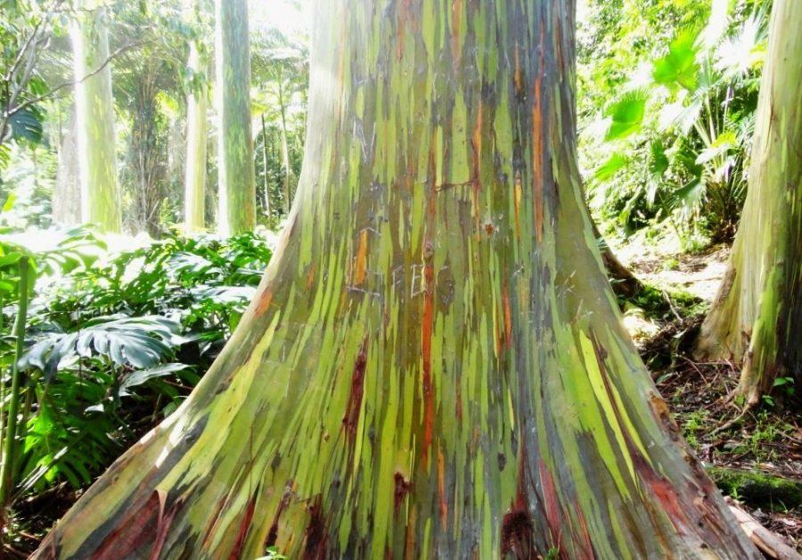 Разноцветные деревья, Новая Гвинея