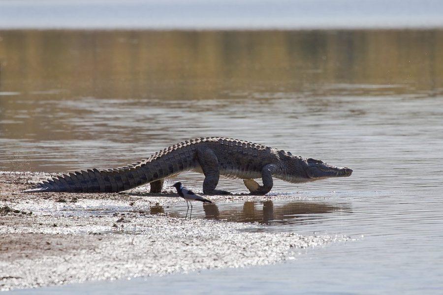 Прогулка с крокодилами в Зимбабве