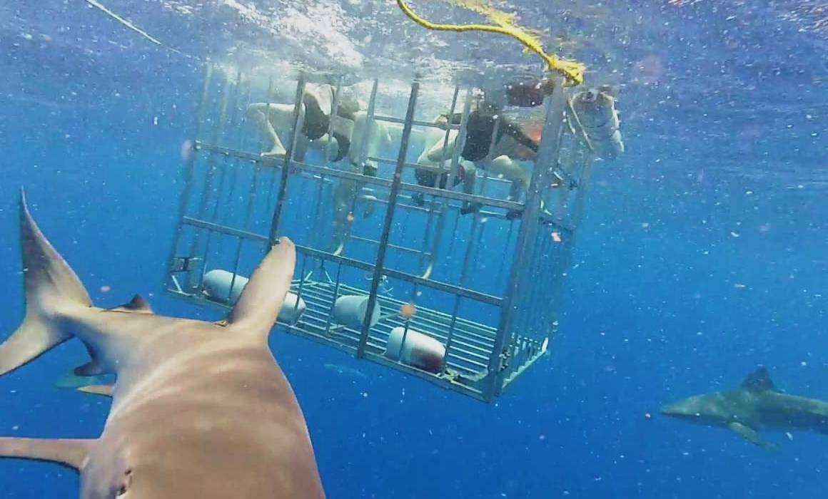 Плавать в клетке с акулами