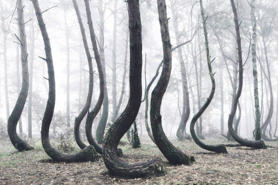 Кривой лес в Польше интересен для туристов