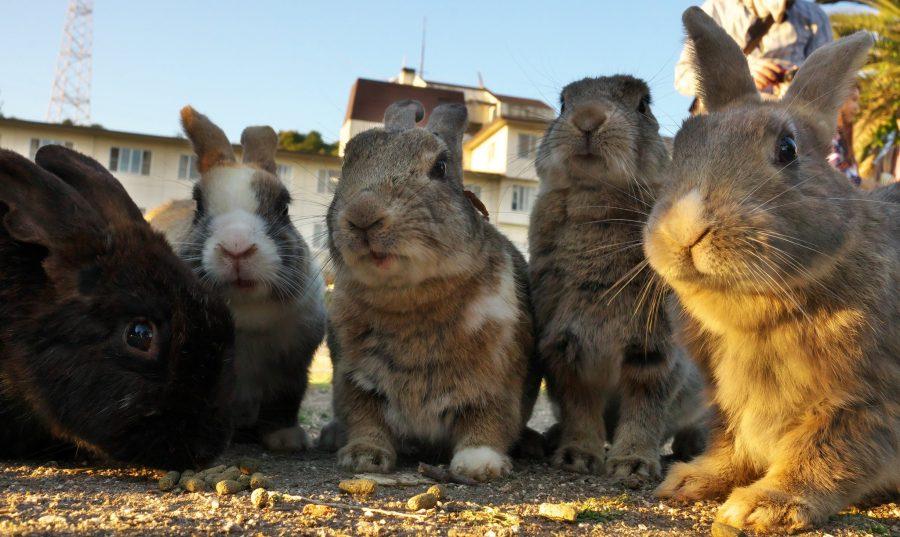 Рай для кроликов на острове Окуносима