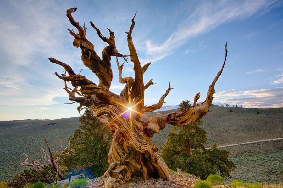 Сосна «Мафусаил» дерево долгожитель