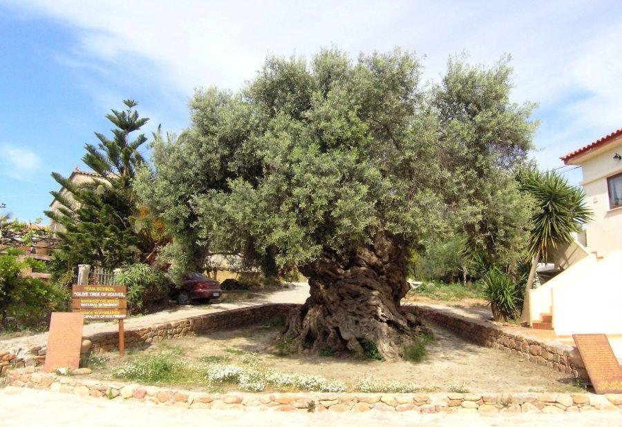 Олива Вувес дерево долгожитель