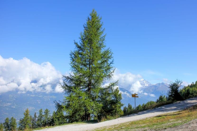 Лиственница Alerce дерево долгожитель