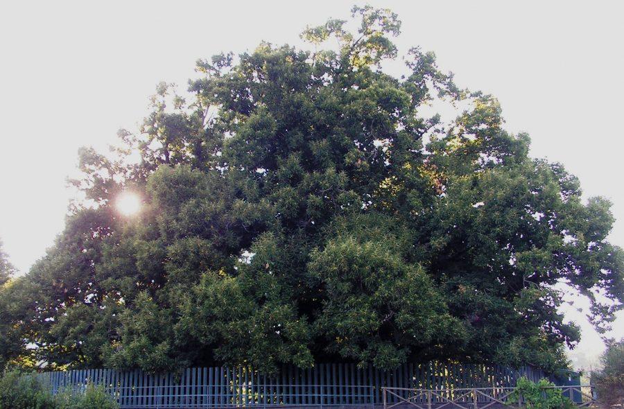 Каштан 100 лошадей дерево долгожитель