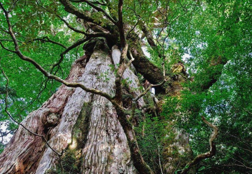 Кедр «Дземон Суги» дерево долгожитель