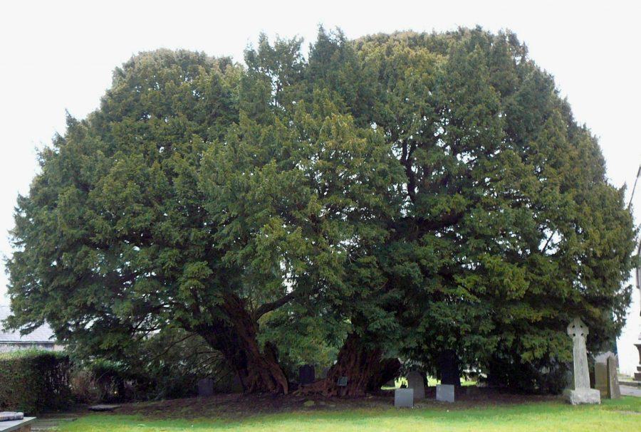 Тис Llangernyw Yew дерево долгожитель