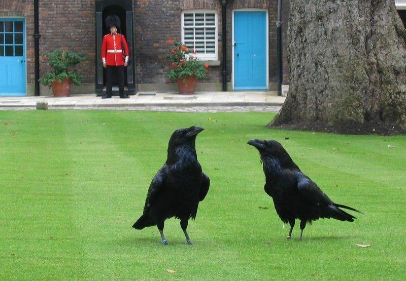 Вороны охранники в Лондоне