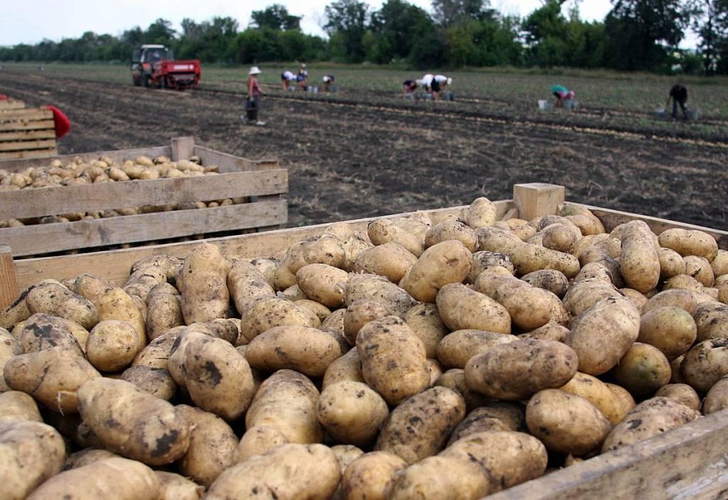 Картофель выращенный в России