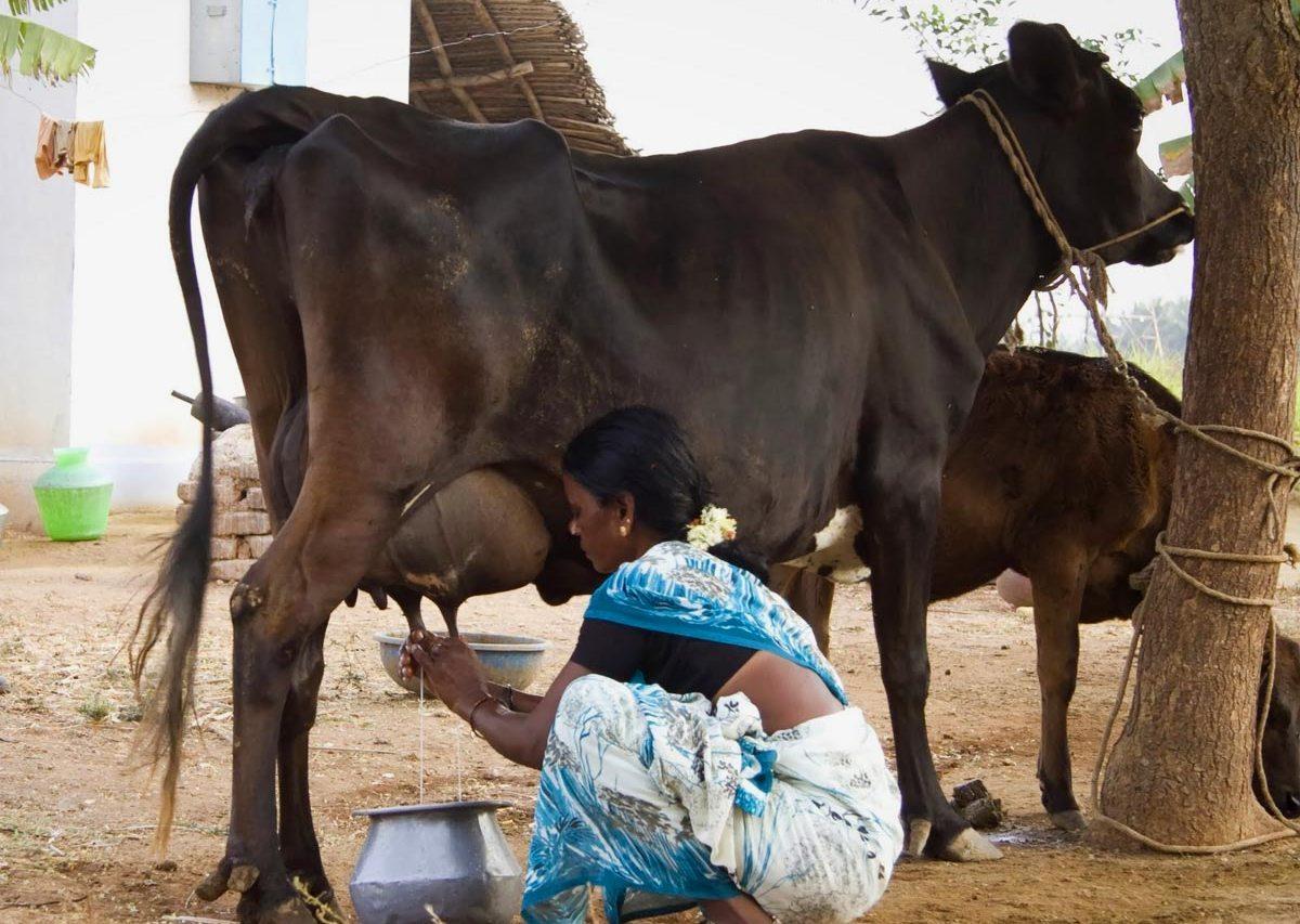 Священное коровье молоко в Индии