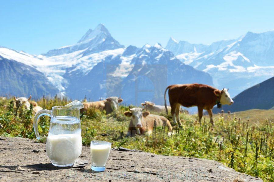 Молоко и коровы в Швейцарии