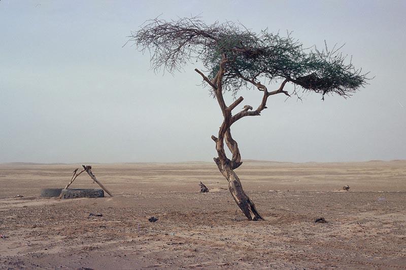 Древняя акация В пустыне Тенере