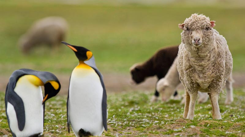 Почему на островах так много овецу Фолклендов