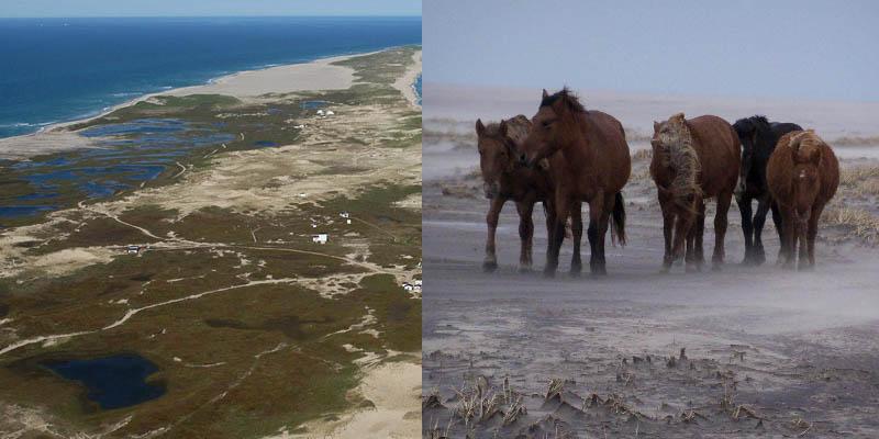 на Сейбле проживает примерно 300 лошадей