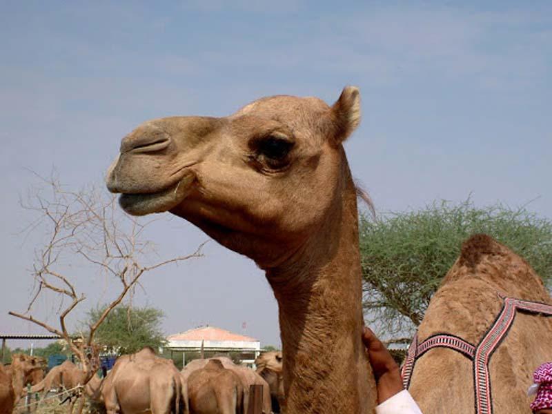 Почему еще данный народ ценит верблюжье мясо
