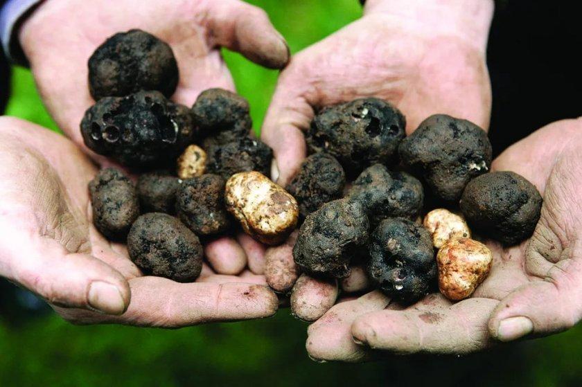 Выращивание и заработок на трюфеля