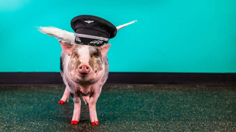 Почему свинью взяли работать в аэропорт в США?