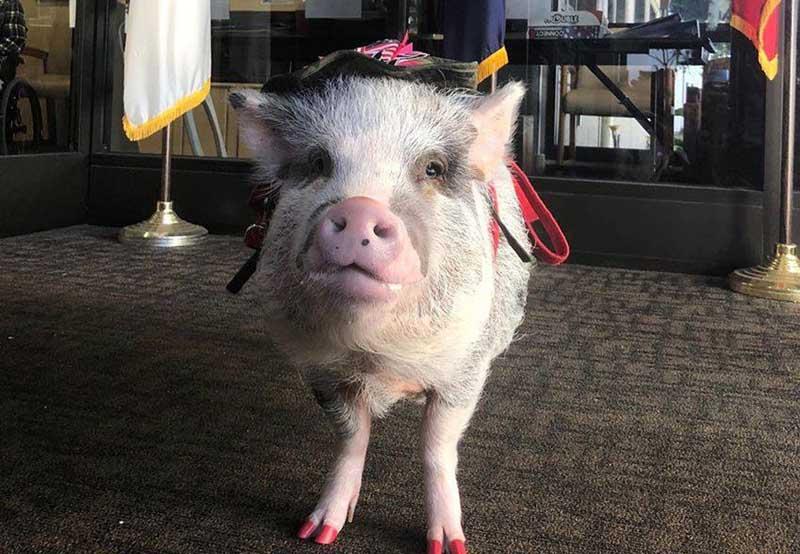 Зачем свинью взяли на работу в аэропорт