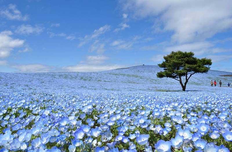 Композиция из четырех миллионов цветков небесного оттенка называется «Гармонией Немофилы».