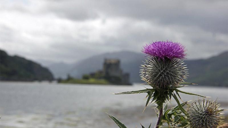 Почему чертополох ста символом Шотландии?