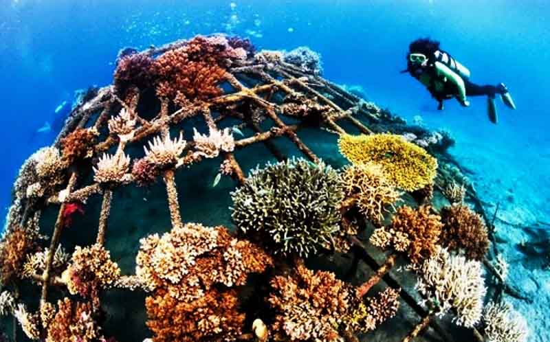 На Таити специалисты спасают кораллы путем их самостоятельного выращивания