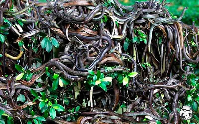 Тропический, мягкий климат пришелся по вкусу самым опасным и ядовитым змеям, которые выселили людей, живущих на острове Кеймада-Гранди.