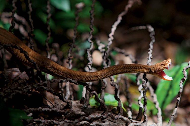 еды для змей на Кеймада-Гранди катастрофически не хватает, в последнее время отмечается сокращение их количества