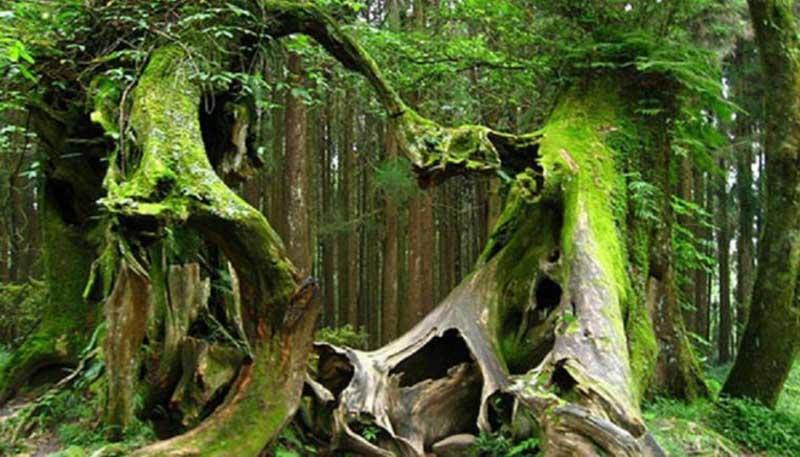 С того времени лес и стали называть Хойя Бачу.