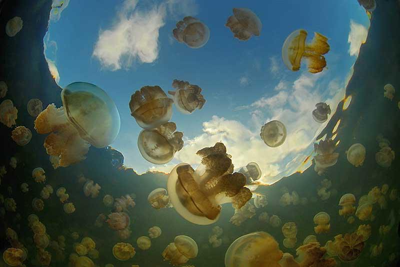 Все медузы этого водохранилища не вырастают до больших размеров.