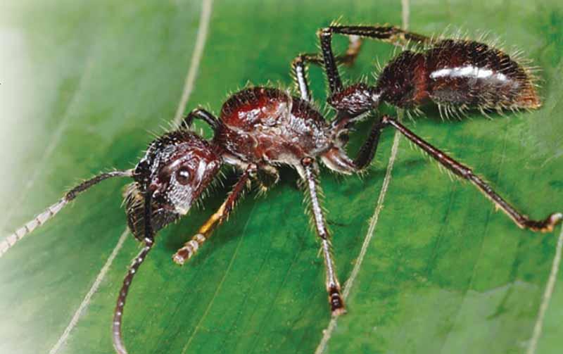 Муравьи «Paraponera» обитают в тропиках.
