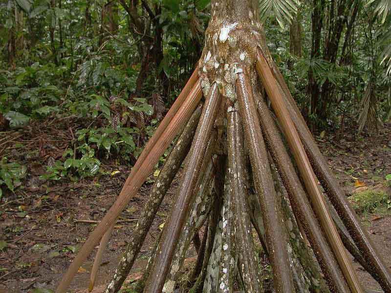 «Гуляющая» пальма