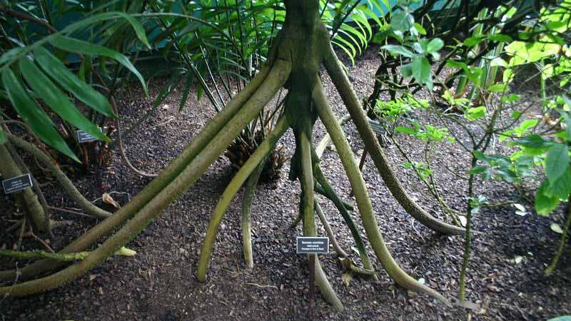 Впервые идея о «гуляющей» пальме была описана Джоном Бодли в конце 20 века, но в 2005 году биолог Херардо Авалос опроверг эту теорию