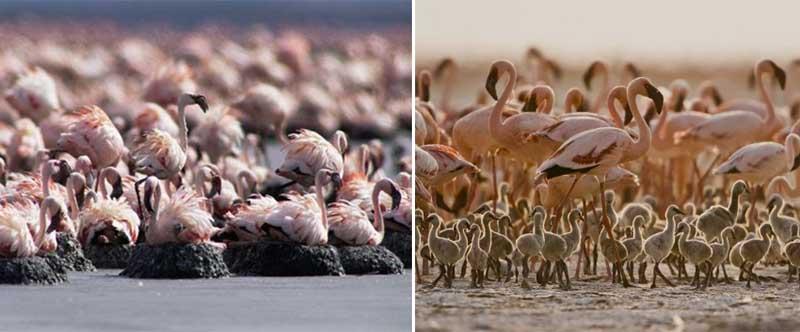 Также Натрон является домом для 75% всей популяции фламинго в мире.