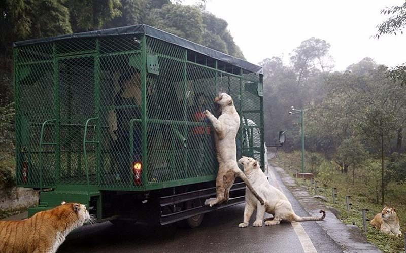 Необычный зоопарк, в котором его посетители находятся в клетке, а животные спокойно разгуливают по территории парка