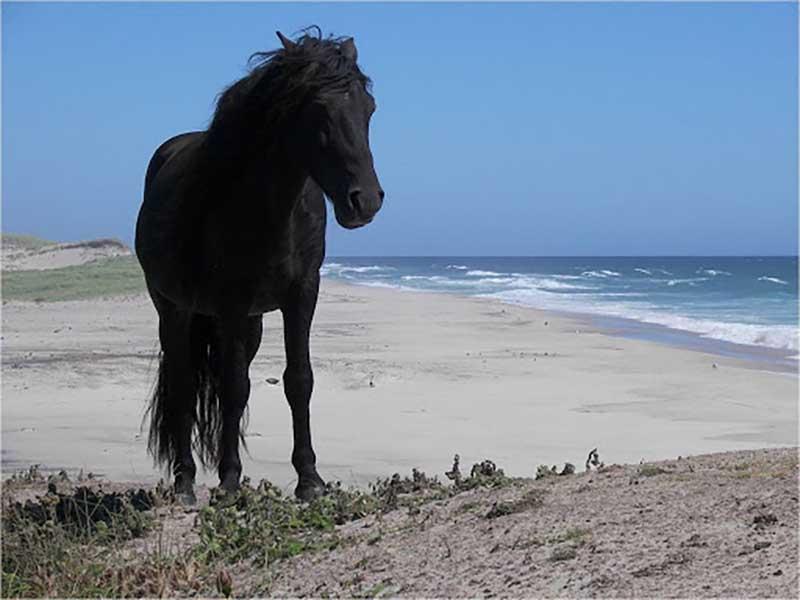 Рассматривая животный мир острова, стоит отметить большую популяцию одичавших лошадей, которые были завезены на территорию Сейбла в 19 веке для нужд поселенцев.