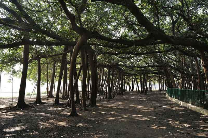 Уникальный лес Великий баньян, состоящий из одного дерева