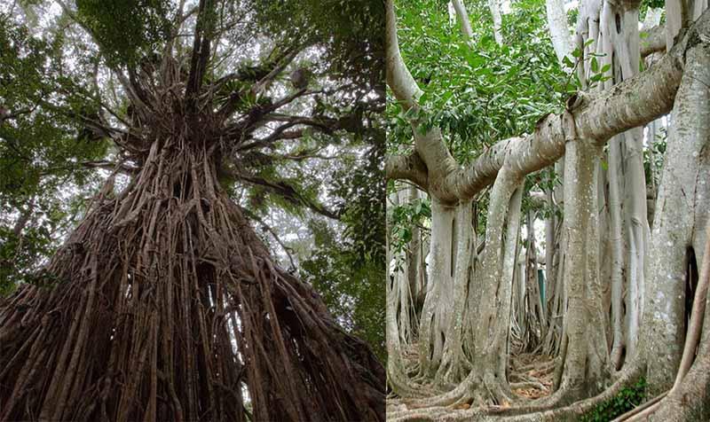 Специально для туристов вокруг Великого баньяна была построена дорога, по которой каждый желающий мог обойти уникальное дерево.