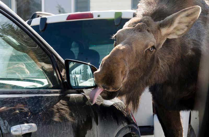 В Канаде лоси стали облизывать машины: как с этим борются власти?