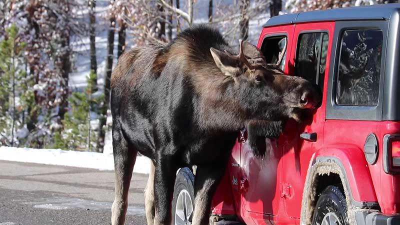 Почему лоси облизывают машины?