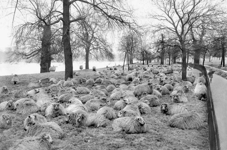 Овцы на улицах Англии