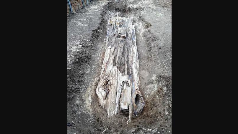 Дерево возрастом 20 млн лет