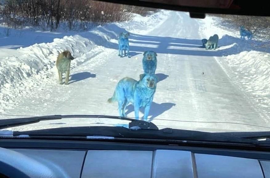 Синие собаки