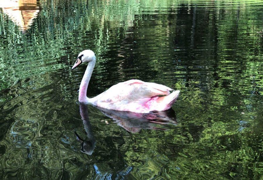 Розовый лебедь