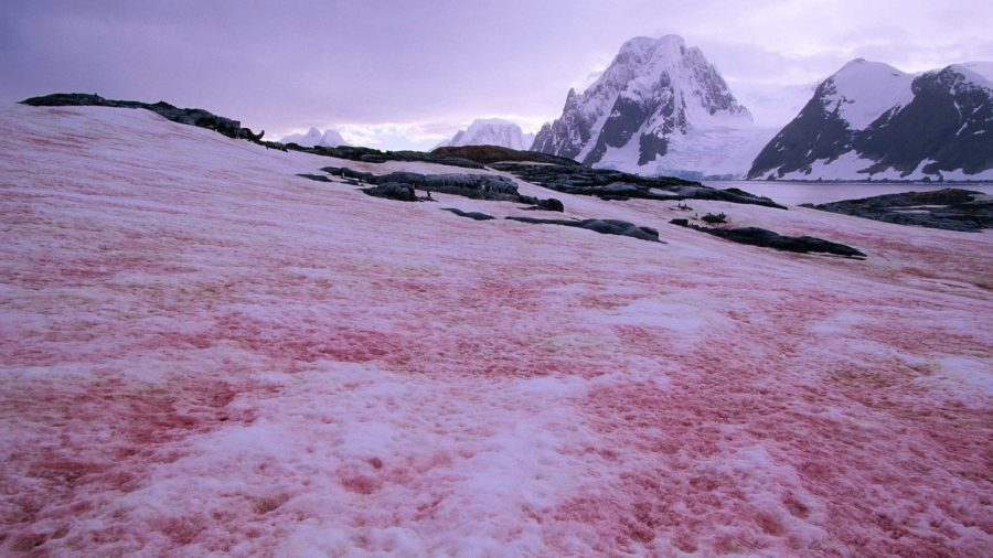 Арбузный снег в Антарктиде