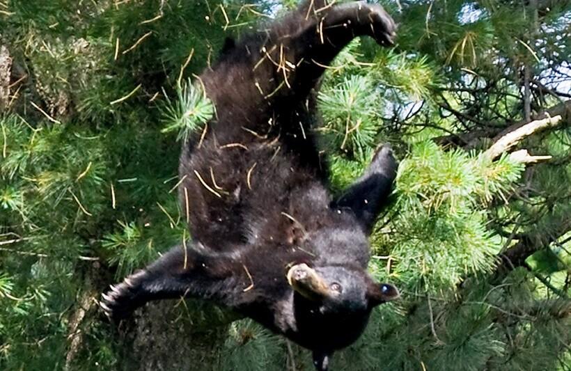 Падающий медведь