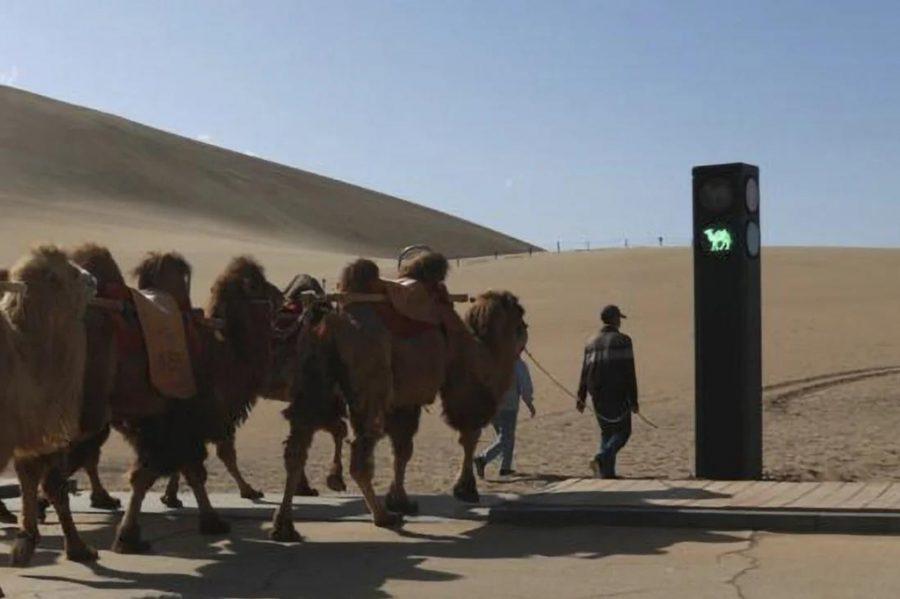 Светофор для верблюдов