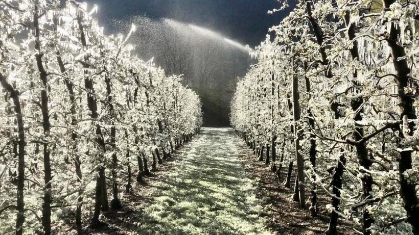 Яблони покрытые льдом